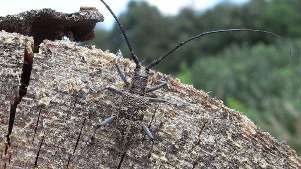 El vector del gusano invasor de coníferas en España