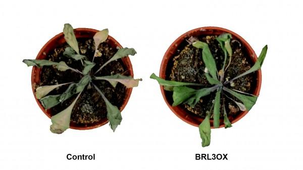Plantas de Arabidopsis thaliana sometidas a condiciones de sequía.