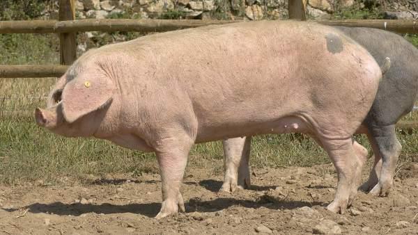 El 84% de las razas autóctonas de ganadería están en peligro de extinción 7