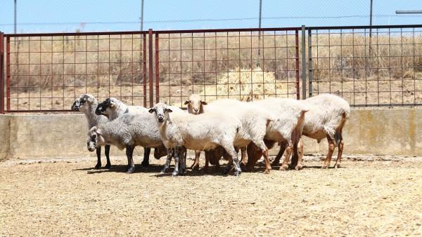 El 84% de las razas autóctonas de ganadería están en peligro de extinción 10