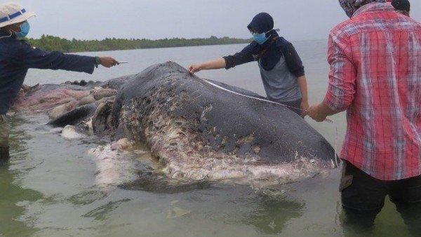 Hallan un cachalote muerto con seis kilos de plástico en el estómago