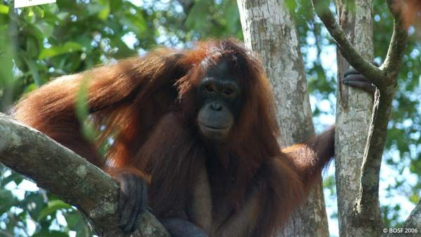 La triste historia de Pony, la orangután obligada a prostituirse