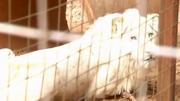 Mufasa, el león blanco que va a ser subastado en Sudáfrica para ser cazado y así recaudar fondos 1
