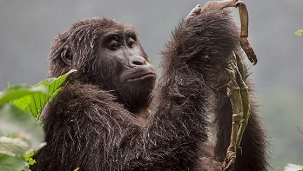 Una Gorila Llorando A Su Bebe La Historia Detras De La Foto, Planeta Incógnito