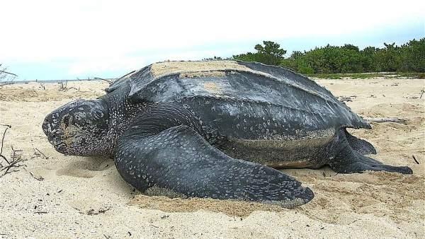 Aparece El Cadaver De Una Tortuga Laud En La Playa De Xago Y El De Un Cachalote En El Puerto De Gijon, Planeta Incógnito