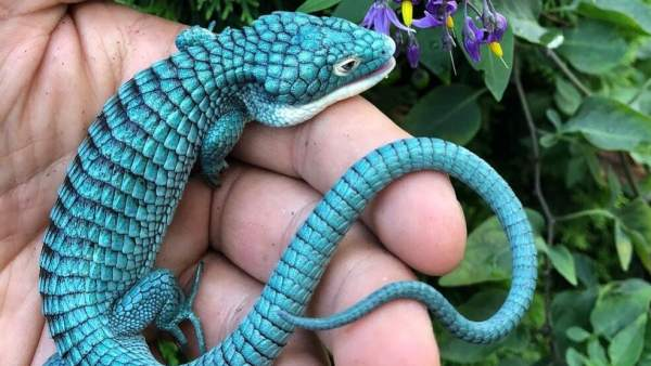 El 'dragoncito azul'