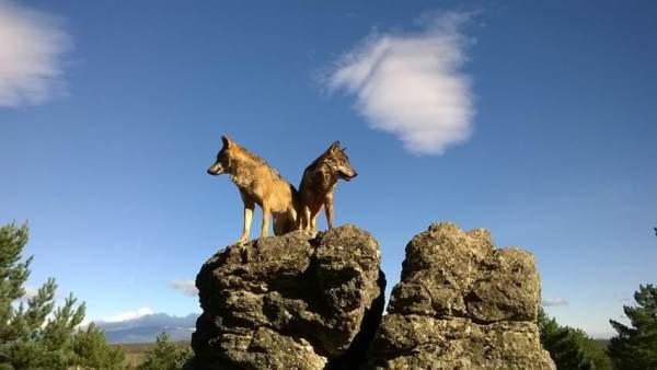 El Numero De Lobos Ibericos Aumenta A 297 Manadas, Planeta Incógnito