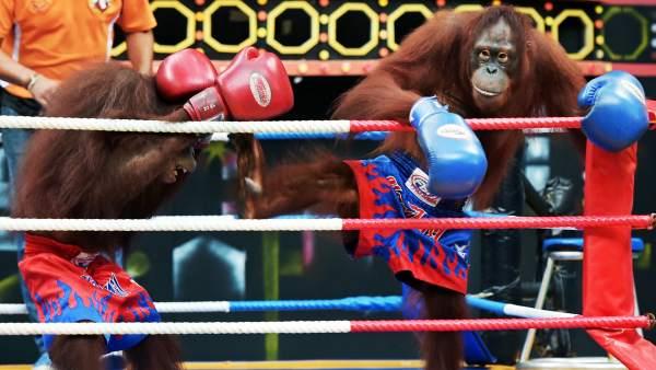 Boxeo entre orangutanes
