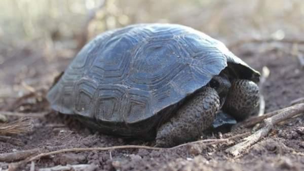 Aparecen tortugas bebés en las Islas Galápagos por primera vez en más de 100 años
