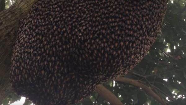 Mecanismo de defensa de las abejas asiáticas
