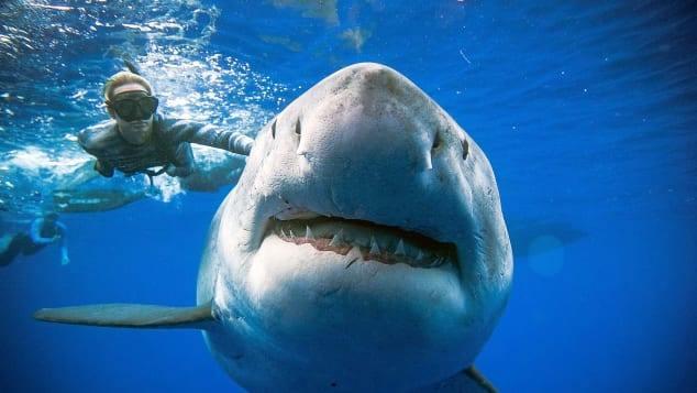 el buceador OceanRamsey con el tiburón de seis metros.