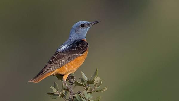 Un estudio alerta del declive de las aves de alta montaña en España
