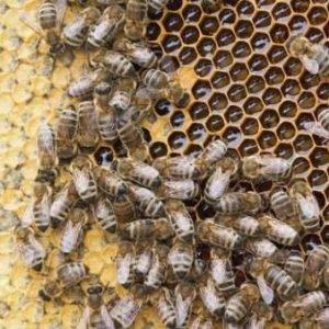Así actúa el parásito que está aniquilando a las abejas