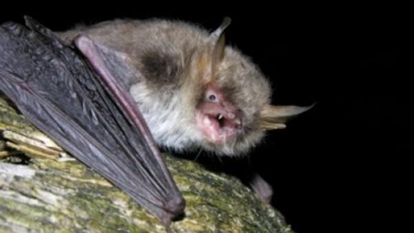 Científicos españoles descubren una nueva especie de murciélago desconocida en Europa