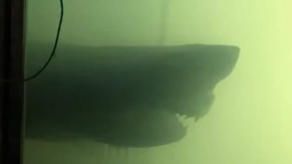 El tiburón blanco encontrado en el parque abandonado Wildlife Wonderland.