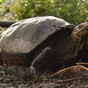 Encuentran en Galápagos una tortuga gigante considerada extinta desde hace cien años