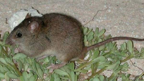 Este roedor es el primer mamífero en extinguirse por culpa del cambio climático