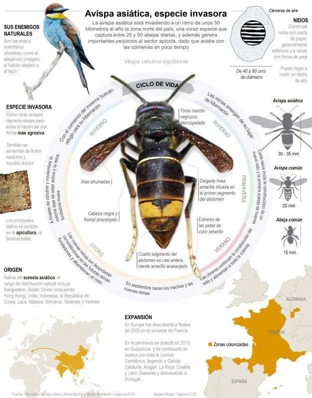 La avispa asiática ya tiene un voraz enemigo natural en España 1