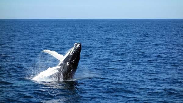 Las Ballenas Azules Utilizan Su Memoria Para Cazar En Vez De Las Senales Ambientales, Planeta Incógnito