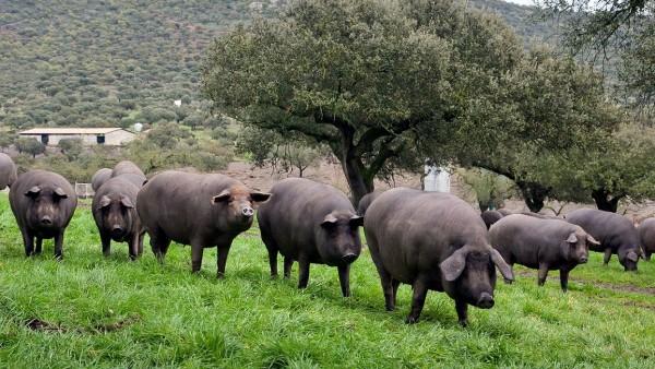 Los Jabalies El Principal Enemigo De Las Granjas De Cerdos En Europa 2, Planeta Incógnito