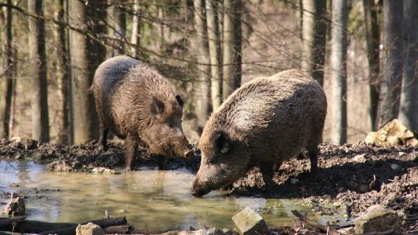 Los Jabalies El Principal Enemigo De Las Granjas De Cerdos En Europa 4, Planeta Incógnito