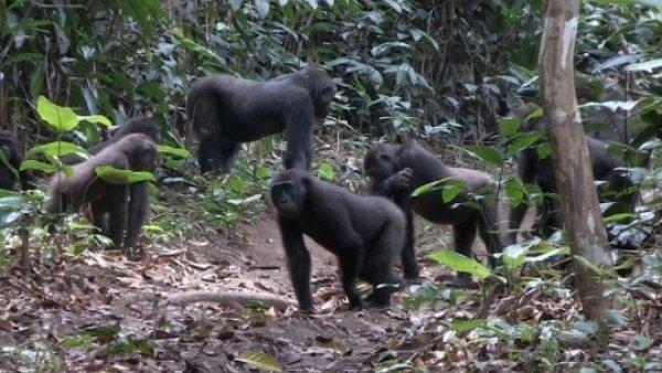 Un Estudio Constata Que Los Gorilas De Llanura Son Pacificos Sociables Y Suelen Cambiar De Familia, Planeta Incógnito