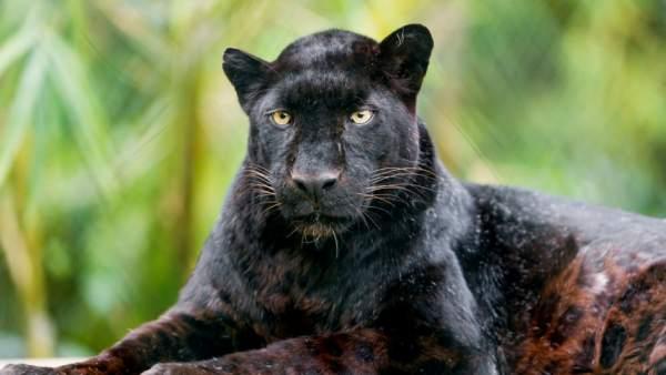 Leopardo negro fotografiado en Kenya por primera vez en 100 años.