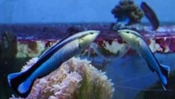 Imagen del pez limpiador, Labroides dimidiatus.