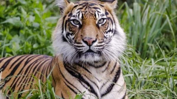 Un Tigre Mata A La Tigresa Con La Que Tenia Que Aparearse En El Zoo De Londres, Planeta Incógnito