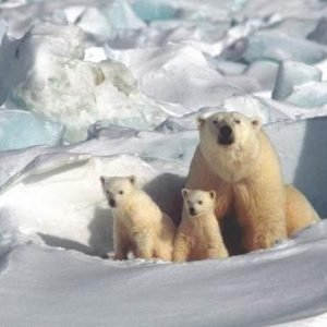 Deposiciones con purpurina, la forma de combatir la extinción de los osos polares