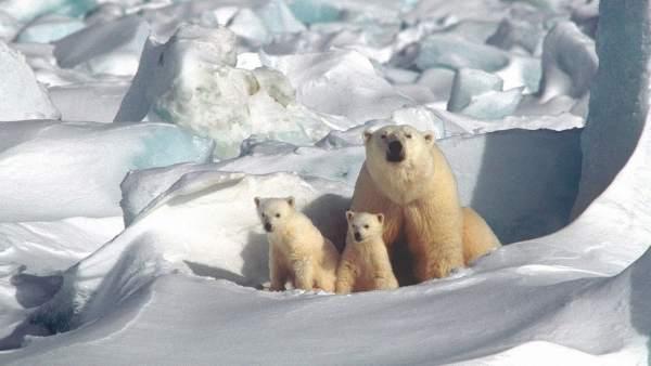 Un oso polar con sus crías