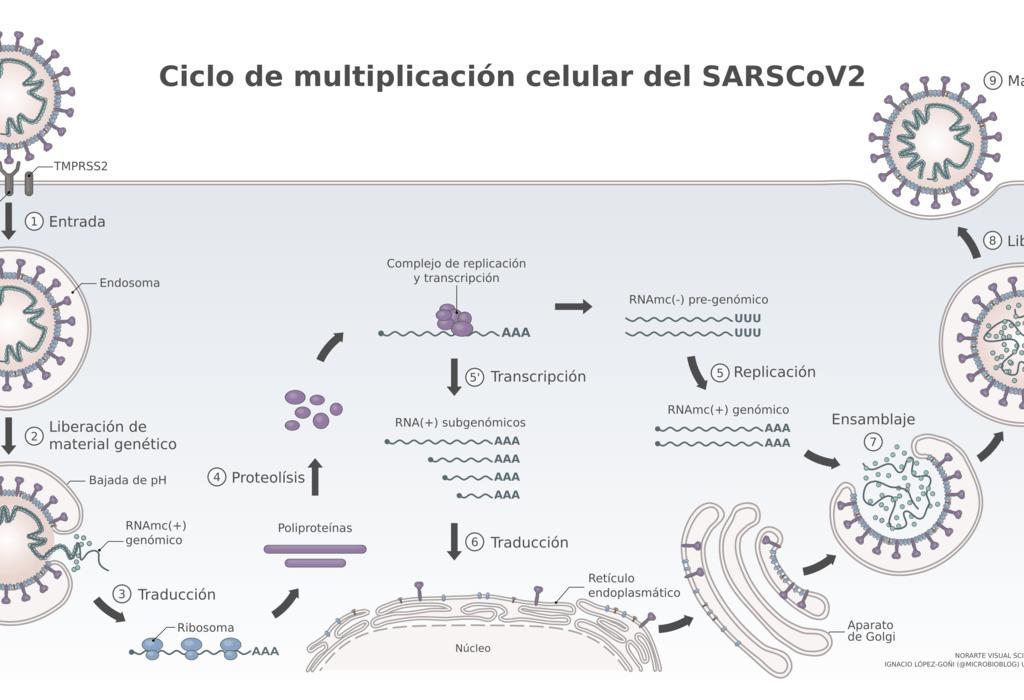 Ciclo de infección y multiplicación celular del SARS- Cov-2 en una célula eucariota humana.