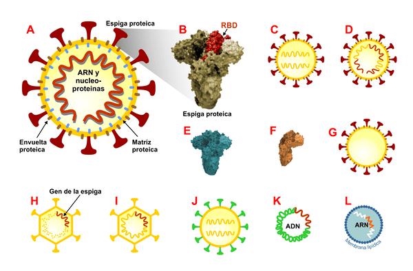 Ilustración de la ubicación de RBD en la espiga protéica, Imagen de https://theconversation.com/covid-19-por-que-las-primeras-vacunas-exigen-congelacion-150611